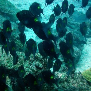 Poissons » Perche » Gnathodentex aurolineatus