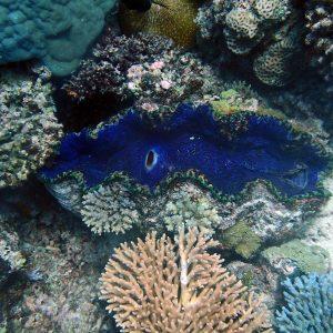 Mollusques » Bivalve » Bénitier