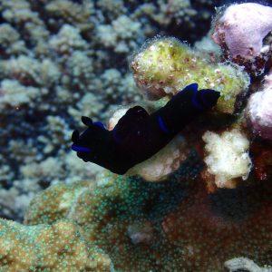 Mollusques » Gastéropodes » Nudibranches » Philinopsis gardineri