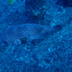 USA, Hawaii, Oahu, Sea Tiger