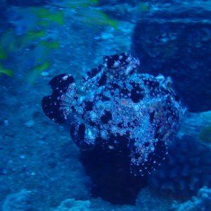 Antennarius commerson - USA, Hawaii, Oahu, Sea Tiger