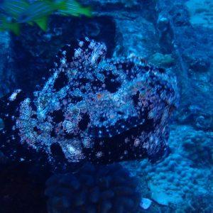 Poissons » Poisson-grenouille » Antennarius commerson