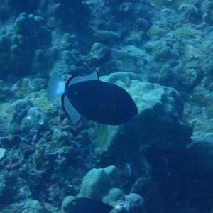 Melichthys vidua - USA, Hawaii, Oahu, Horseshoe Reef