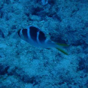 Monotaxis grandoculis - USA, Hawaii, Oahu, Horseshoe Reef