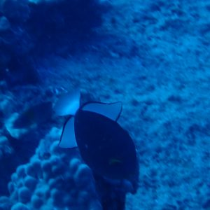 Melichthys vidua - USA, Hawaii, Oahu, YO-257/San Pedro