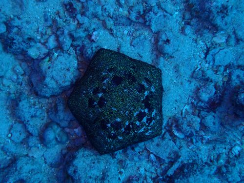 étoile de mer en forme de coussin