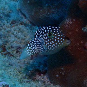 Canthigaster jactator - USA, Hawaii, Oahu, Rojo reef
