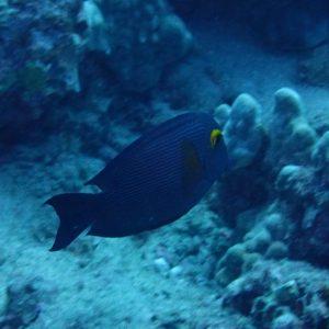 Ctenochaetus strigosus - USA, Hawaii, Oahu, Rojo reef