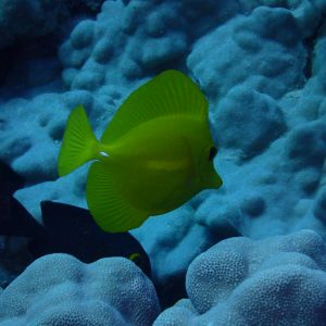 Zebrasoma flavescens - USA, Hawaii, Oahu, Rojo reef