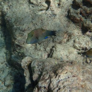 Canthigaster solandri - USA, Hawaii, Oahu, Hanauma Bay