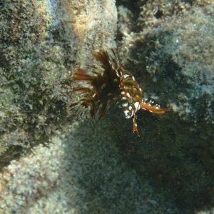 Novaculichthys taeniourus - USA, Hawaii, Oahu, Hanauma Bay