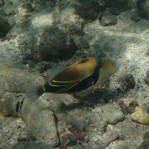 Rhinecanthus rectangulus - USA, Hawaii, Oahu, Hanauma Bay