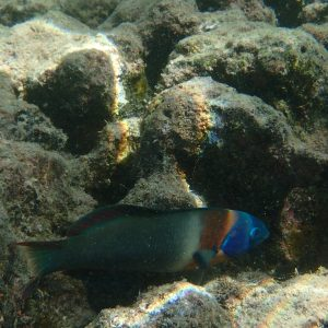 Poissons » Labre » Thalassoma duperrey