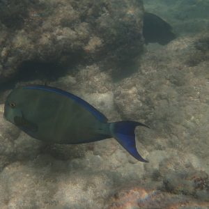 Poissons » Poisson-chirurgien » Acanthurus xanthopterus
