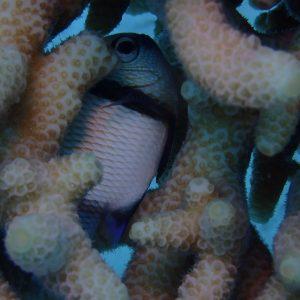 Poissons » Poisson-demoiselle » Dascyllus reticulatus