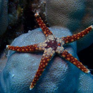 Échinodermes » Étoile de mer » Celerina heffernani