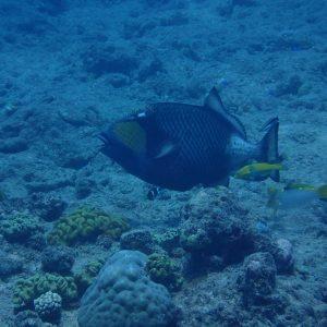 Balistoides viridescens - Nouvelle-Calédonie, Passe de Boulari, Manta Point
