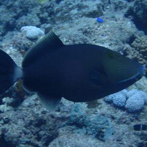 Sufflamen fraenatum - Nouvelle-Calédonie, Passe de Boulari, Manta Point
