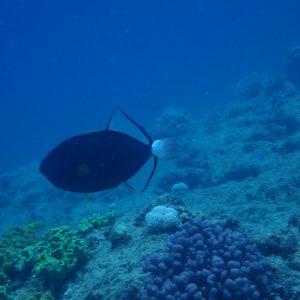 Melichthys vidua - Nouvelle-Calédonie, Passe de Boulari, Manta Point