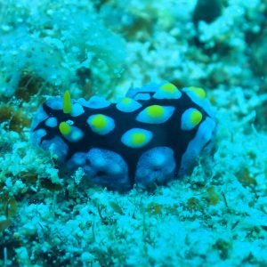 Mollusques » Gastéropodes » Nudibranches » Phyllidia picta