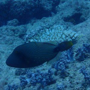 Balistapus undulatus - Nouvelle-Calédonie, Passe de Boulari, Manta Point