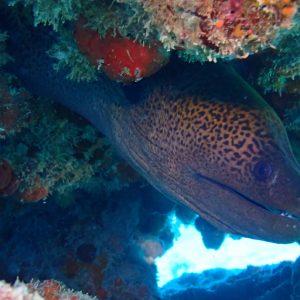 Gymnothorax undulatus - Nouvelle-Calédonie, Passe de Boulari, Manta Point