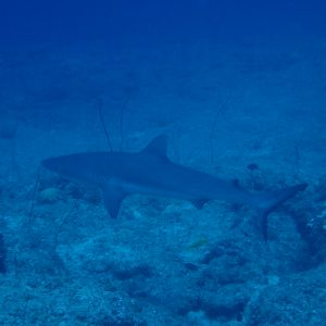 Poissons » Requin » Carcharhinus amblyrhynchos