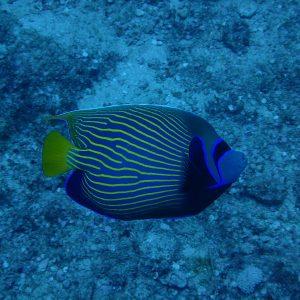 Pomacanthus imperator - Nouvelle-Calédonie, Passe de Boulari, Manta Point