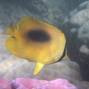 Chaetodon speculum - Nouvelle-Calédonie, Nouméa, Baie des Citrons