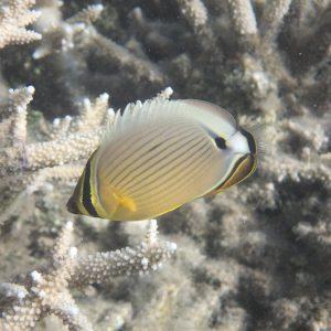 Chaetodon lunulatus - Nouvelle-Calédonie, Nouméa, Baie des Citrons