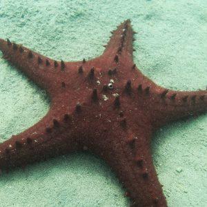 Échinodermes » Étoile de mer » Pentaceraster alveolatus