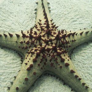 Échinodermes » Étoile de mer » Pentaceraster regulus