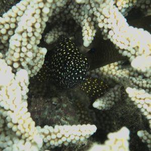 Poissons » Loche » Epinephelus ongus