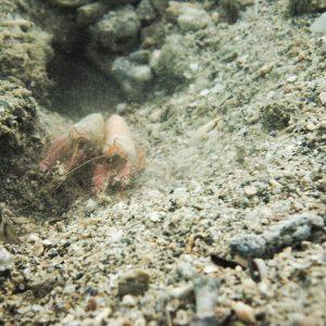 Crustacés » Crevettes » Alpheus sp.