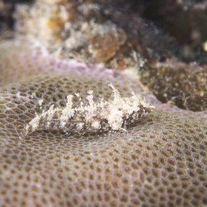 Norfolkia brachylepis - Nouvelle-Calédonie, Nouméa, Baie des Citrons