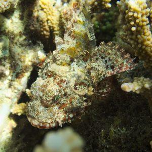 Poissons osseux » Rascasse » Scorpaenodes kelloggi