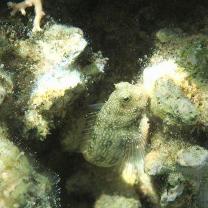 Blennie - Nouvelle-Calédonie, Nouméa, Île aux Canards
