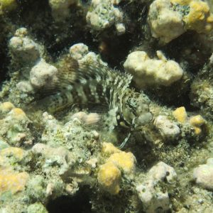 Poissons » Blennie » Salarias fasciatus