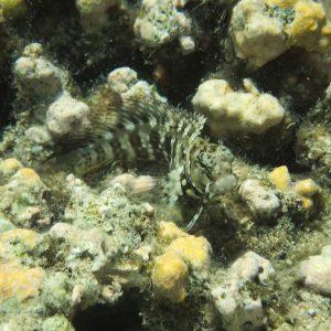 Poissons osseux » Blennie » Salarias fasciatus