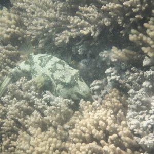 Poissons osseux » Poisson-ballon » Arothron hispidus