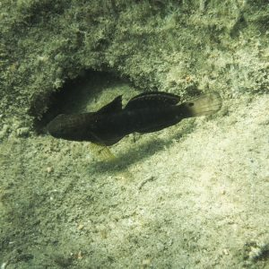 Poissons » Gobie » Amblygobius phalaena