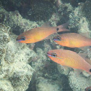 Poissons » Poisson-cardinal » Ostorhinchus aureus