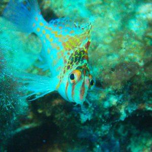 Cirrhitichthys falco - Nouvelle-Calédonie, Passe de Boulari, Toho V
