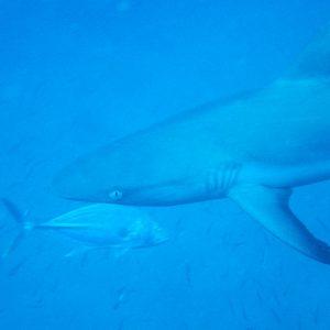 Carcharhinus amblyrhynchos - Nouvelle-Calédonie, Passe de Boulari, La Diéppoise