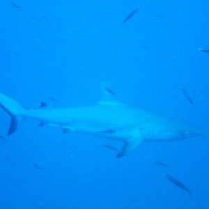 Poissons cartilagineux » Requin » Carcharhinus amblyrhynchos
