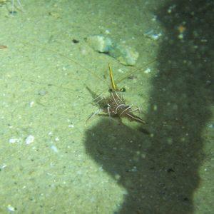Crustacés » Crevettes » Rhynchocinetes durbanensis