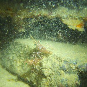 Crustacés » Crevette » Rhynchocinetes durbanensis