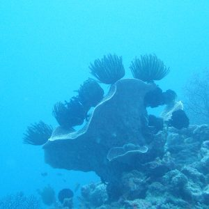 Crinoïde - Nouvelle-Calédonie, Yaté, Îlot Nouaré