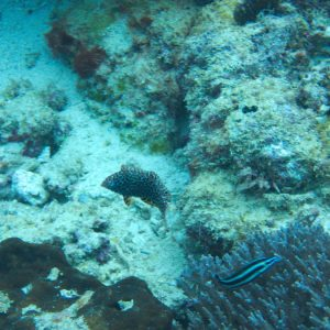 Poissons osseux » Labre » Macropharyngodon meleagris
