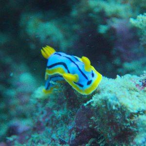 Mollusques » Gastéropode » Limaces de mer (opisthobranche) » Nudibranche » Doridien » Chromodoris elisabethina